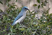 Photograph of a Mexican Jay in Madera Canyon AZ