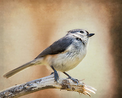 A Tufted Titmouse On A Tall Tree Branch Perch