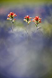 Abstract telephoto view of Indian paintbrush (Castilleja indivisa) and out of focus bluebonnets (Lupinus texensis) in field, Ennis, Texas USA. Tentative ID.