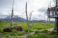 Brown bears are waiting for their food at the Alaska Wildlife Conservation Center, Portage, Alaska<br /> <br /> Photographer: Christina Sjögren<br /> <br /> Copyright 2019, All Rights Reserved