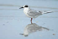 Forster's Tern - Sterna forsteri - Adult non-breeding