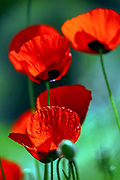 closeup of flowering red poppies. Photographed in Israel, In March