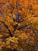 Brilliant autumn colors of sugar maple, Acer saccharum, Superior National Forest west of Lake Superior, Minnesota.