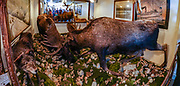 Two stuffed moose bulls lock antlers at Jeff. Smiths Parlor Museum, which is toured by the National Park Service. Skagway was founded in 1897 on the Alaska Panhandle. Skagway's population of about 1150 people doubles in the summer tourist season to manage more than one million visitors per year. Half of Alaska's total visitors come via cruise ships. Klondike Gold Rush National Historical Park commemorates the late 1890s Gold Rush with three units in Municipality of Skagway Borough: Historic Skagway; the White Pass Trail; and Dyea Townsite and Chilkoot Trail. (A fourth unit is in Pioneer Square National Historic District in Seattle, Washington.) This image was stitched from multiple overlapping photos.