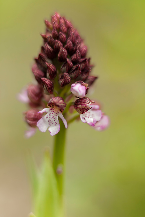 Lady Orchid close up starting to bloom