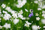 Wild Flowers growing in a meadow, England