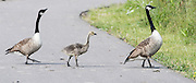 """Caversham, Nr Reading, Berkshire.<br /> <br /> """"Why did the Geese cross the Road""""?                     Olympic Rowing Team Announcement morning training before the Press conference at the RRM. Henley.<br /> <br /> Thursday  09.06.2016<br /> <br /> [Mandatory Credit: Peter SPURRIER/Intersport Images] 09.06.2016,"""