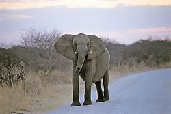 Elephant On Road, Hwange Natl. Park