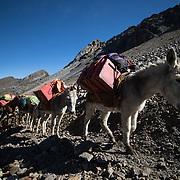 Donkeys carry load at the Cordillera Huayhuash trekking circuit, Peru, September 6, 2018. REUTERS/Lisi Niesner