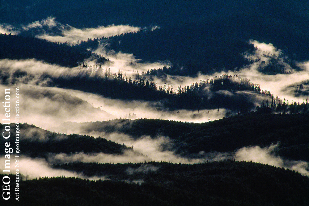Fog bathes redwood trees in Redwood National Forest.