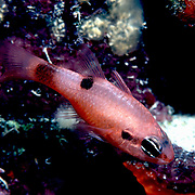 Flamefish prefer shallow water, drift in the openings to dark recesses in Tropical West Atlantic; picture taken Grand Cayman.