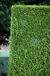 x Cupressocyparis leylandii 'Castlewellan Gold' - Golden Leylandii hedge