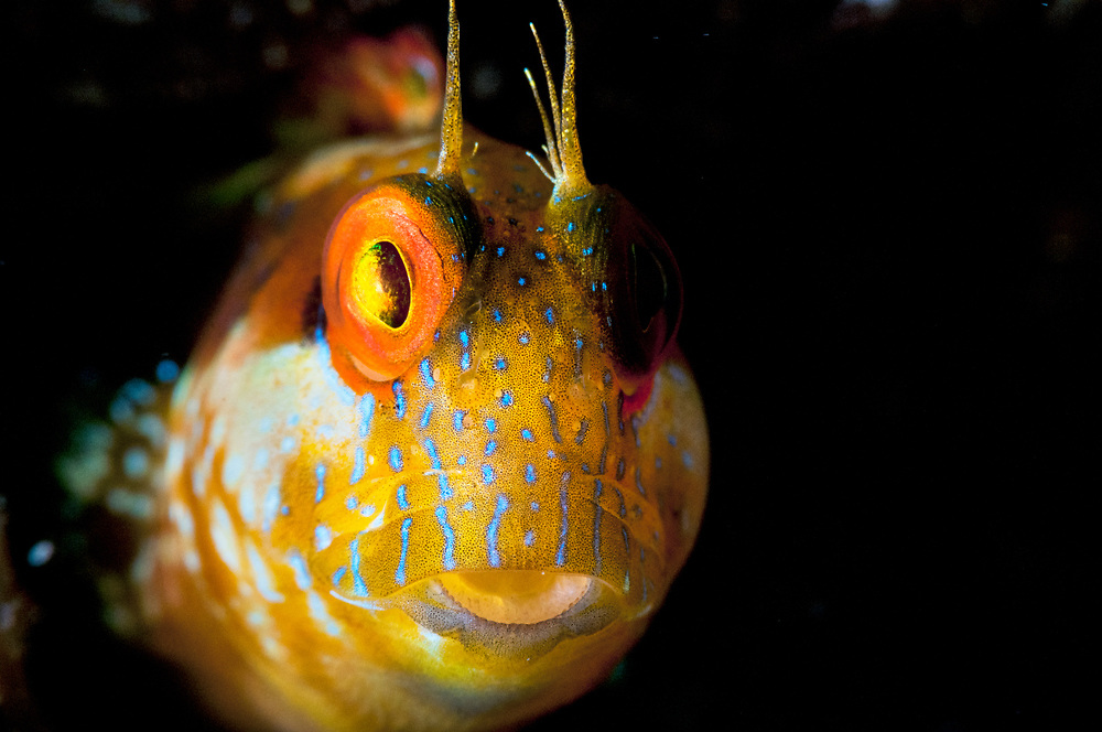 Close up portrait of a seaweed blenny (Parablennius marmoreus) in The Bahamas.