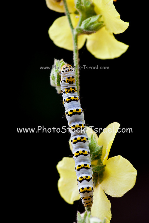 caterpillar on a yellow flower on black background