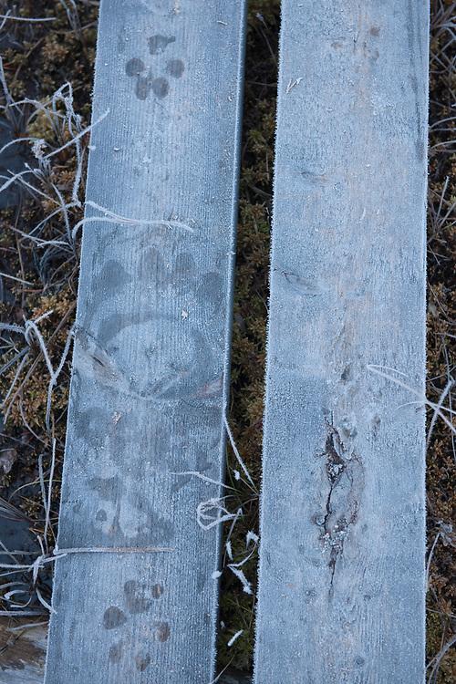 Eurasian brown bear, Ursus arctos tracks and Eurasian wolf Canis lupus tracks on walkway, Kuhmo, Finland.