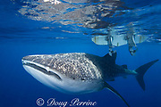 whale shark ( Rhincodon typus ) swims under small boat, Kona Coast of Hawaii Island ( the Big Island ), Hawaiian Islands, USA ( Central Pacific Ocean )
