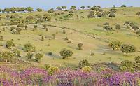 Dehesa forests with Pyrenean oak (Quercus pyrenaica)  and Holm oak (Quercus ilex) and French lavender (Lavandula stoechas) in Campanarios de Azába nature reserve, Salamanca Region, Castilla y León, Spain