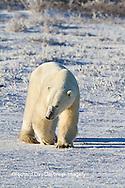 01874-12402 Polar bear (Ursus maritimus) walking in winter, Churchill Wildlife Management Area, Churchill, MB Canada