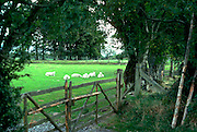 Sheep grazing in the countryside.  Wales Brecon Beacons