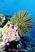 crinoid or feather star, Oxycomanthus bennetti, Palau ( Belau ), Micronesia ( Western Pacific Ocean )