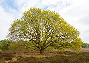 Yellow green new leaves growing on heathland oak tree, Quercus Robur, Sutton, Suffolk, England, UK