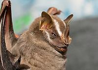 Common Tent-making Bat, Uroderma bilobatum, in Sarapiquí, Costa Rica