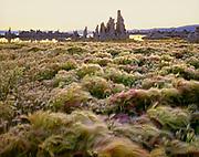 Wild Barley and Tufa Formations,Mono Lake, Mono BasinNational Forest Scenic Area, California