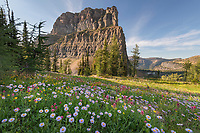 Meadows of purple aster wildflowers at Boulder Pass. Glacier National Park