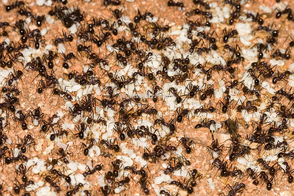 Harvester Ant (Pogonomyrmex maricopa) nest, workers moving larva and pupae at night (Tucson)