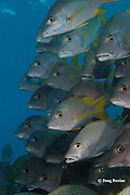 schoolmaster snappers, Lutjanus apodus, Hol Chan Marine Reserve, Ambergris Caye, Belize, Central America ( Caribbean Sea )