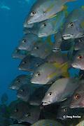 schoolmaster snappers, Lutjanus apodus, Hol Chan Marine Reserve, Ambergris Caye, Belize, Central America ( Caribbean Sea )