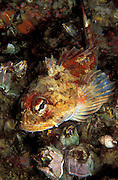 A Red Irish Lord, Hemilepidotus hemilepidotus, rests among barnacles in Discovery Passage, Vancouver Island, British Columbia, Canada.