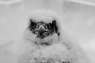 A nestling Gyrfalcon, hand raised for Falconry, stares into the camera in curiosity.