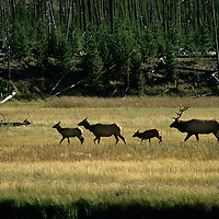 YELLOWSTONE N.P., Elk grazing in meadow beside Madison River, Wyoming.