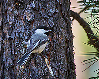 Black-capped Chickadee. Devils Tower National Monument. Image taken with a Nikon D3 camera and 80-400 mm VR lens.