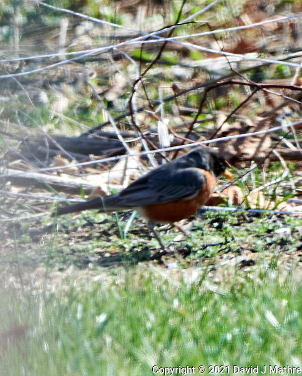 American Robin (Turdus migratorius). Image taken with a Nikon D850 camera and  500 mm f/4 VR lens.