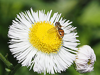 A Margined Calligrapher fly <br /> (Toxomerus marginatus) on an annual fleabane flower in Central Park, May 25, 2021.