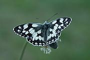 Marbled White Butterfly, Melanargia galathea, Leybourne Lakes Country Park, Kent UK, resting on plantin wings open