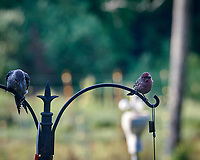 House Finch, Red-bellied Woodpecker. Image taken with a Nikon D850 camera and 200 mm f/2 VR lens