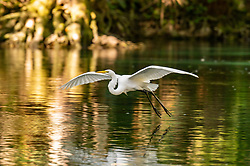 Great Egret flying just above the water on the Silver River in Ocala Florida.