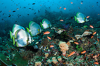 A school of Pinnate Spadefish cruise a healthy reef slope<br /> <br /> Shot in Indonesia