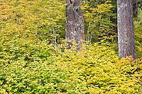 Vine Maple (Acer circinatum) in autumn, Mount Rainier National Forest, WA, USA