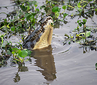 Yacare Caiman (Caiman yacare), The Pantanal, Mato Grosso, Brazil Photo by: Peter Llewellyn