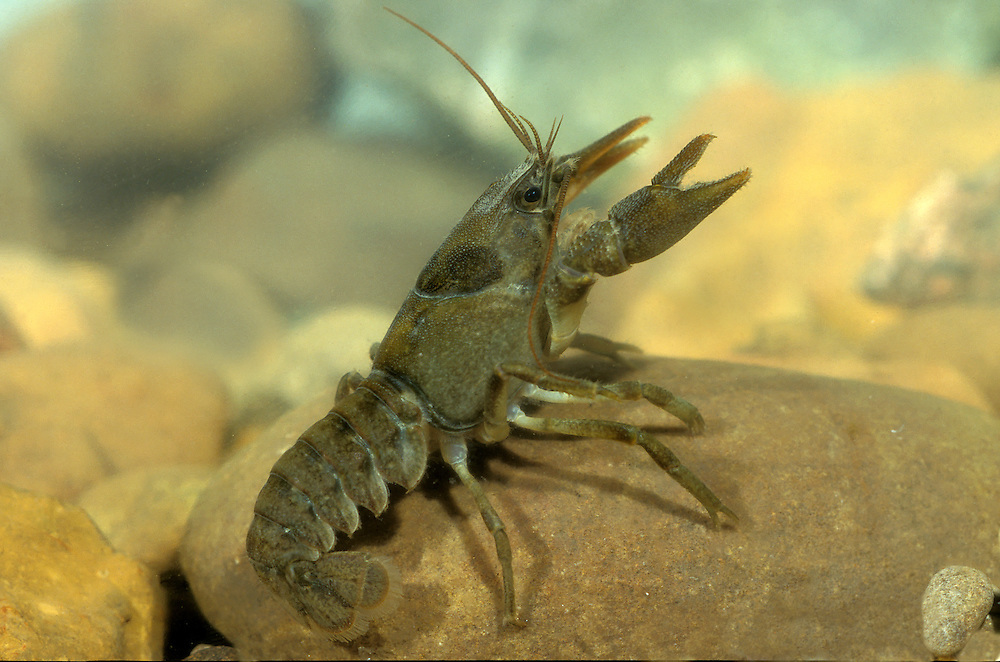 White-clawed Crayfish - Austropotamobius pallipes. The required English Nature License obtained.