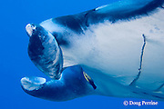 Hawaiian cleaner wrasse, Labroides phthirophagus, picking parasites off manta ray, Manta birostris, at cleaning station, Honokohau, Kona, Hawaii ( the Big Island ), Hawaiian Islands, U.S.A. ( Central Pacific Ocean )