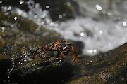 Fernando de Noronha_PE, Brasil.<br /> <br /> Imagens do Parque Nacional Marinho de Fernando de Noronha, Pernambuco. Na foto Caranguejo.<br /> <br /> Fernando de Noronha Marine National Park in Pernambuco. In this photo a crab.<br /> <br /> Foto: JOAO MARCOS ROSA / NITRO