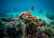 Hawaiian Green turtles off the Coast of Makena on Maui's South Shore.