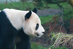 Tian Tian, the female panda, walks through her enclosure, as she makes her first appearance in front of the media since arriving from China on December 12, 2011,  Edinburgh Zoo..Pic © Michael Schofield.