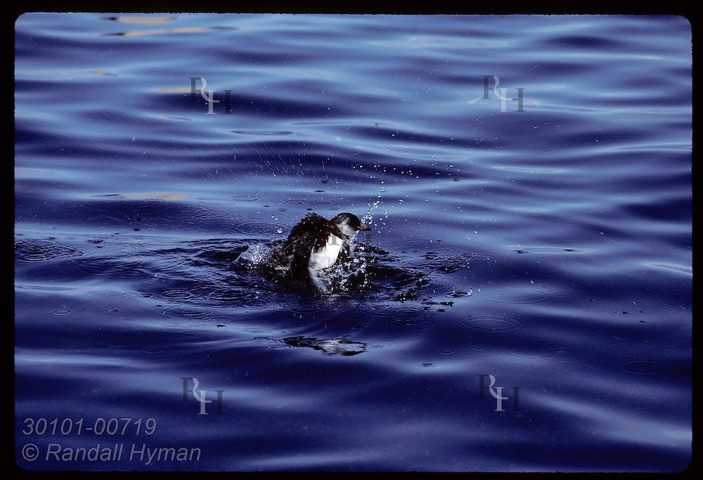 Puffin chick beats wings on water after landing in ocean for first time;August/Westmann Islnd Iceland