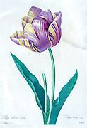 19th-century hand painted Engraving illustration of a tulip Tulipa culta) flower, by Pierre-Joseph Redoute. Published in Choix Des Plus Belles Fleurs, Paris (1827). by Redouté, Pierre Joseph, 1759-1840.; Chapuis, Jean Baptiste.; Ernest Panckoucke.; Langois, Dr.; Bessin, R.; Victor, fl. ca. 1820-1850.